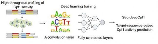 유전자 가위의 효율예측 알고리즘(DeepCpf1) 도식화 - 네이처 바이오테크놀로지 제공